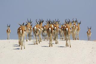 springboks at etosha national park