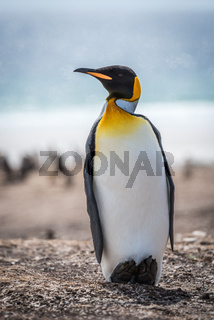 King penguin on shingle beach with ocean behind