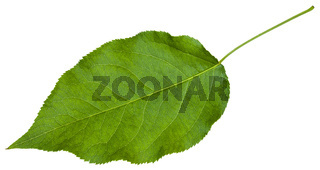 green leaf of Sambucus racemosa ( elderberry)