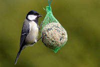 coal tit with fat ball