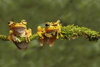 Two Imbabura Treefrogs (Hypsiboas pictuator), Ecuador
