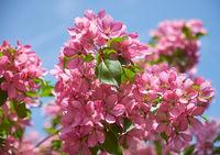 Pink apple-tree flowers