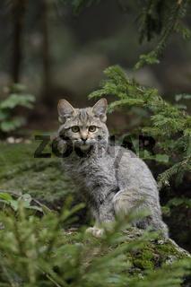 im Lebensraum... Wildkatze *Felis silvestris*
