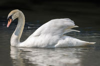 Mute swan gliding across a tranquil lake