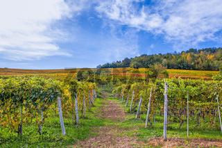 Autumnal vineyards in Piedmont, Italy.