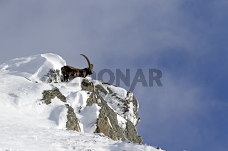 Alpensteinbock im Schnee (Capra ibex), Nationalpark Hohe Tauern, Österreich, Europa