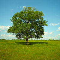 A strong Oak tree standing in a meadow