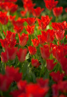 Vibrant red colorful Tulips