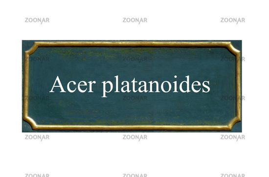 shield Acer platanoides