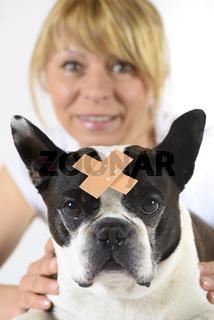 Boston Terrier beim Tierazt mit Wundverband