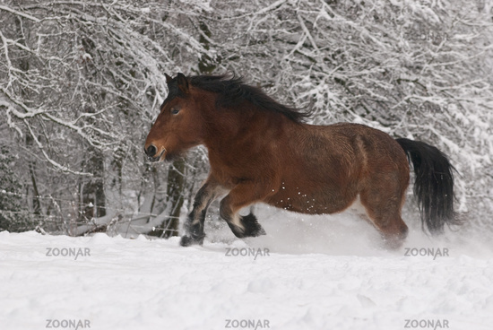 Heavy horse in snow
