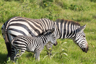 Mother and foal zebra, Equus quagga.