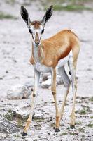 Springbok, Etosha, Namibia