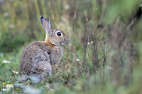 European Rabbit, the kittens are born in a nesting burrow dug by the doe