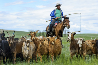mongolischer Nomade mit einer Herde Kaschmirziegen