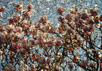 Hintergrund mit Magnolie - Background with Magnolia