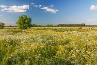 Wiese mit Wiesenkerbel und Hahnenfuss in der Haseldorfer Marsch