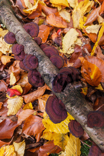 Bracket fungi on a branch and fall leaves