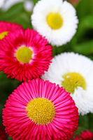 red and white bellis, Germany