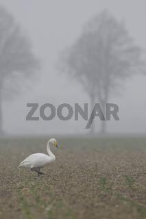 auf den Feldern am Niederrhein... Singschwan *Cygnus cygnus*