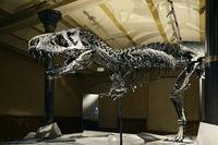Das weltweit einmalige Skelett des (Tyrannosaurus rex, T. rex),
