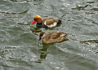 Couple of Red-crested Pochard (Netta rufina), duck and drake,