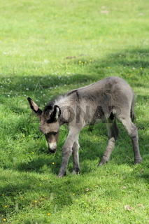 Junger Esel auf einer Wiese