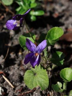 Veilchen, Blüte