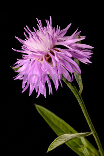 Brown Knapweed Flower