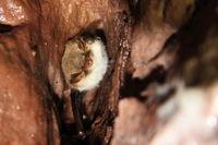 Natterer's bat – hibernating in a mine gallery