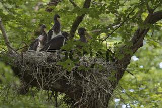unter'm Blätterdach... Schwarzstorch *Ciconia nigra*