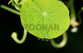 rundes Kapuzinerkressenblatt mit Wassertropfen