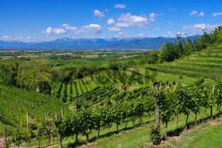 Friaul Weinberge - Friaul vineyards