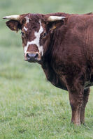 Domestic Cattle, the sleep time is about 4 hours a day