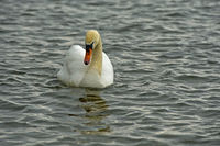 Adult Mute Swan (Cygnus olor) swimming on a lake