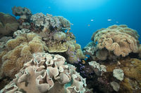 Whitleys Fahnenbarsche zwischen Pilz-Lederkorallen, Australien