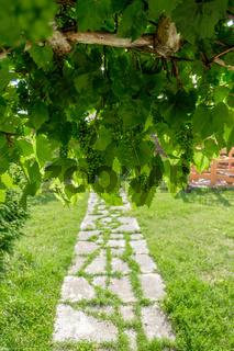Branch of green grapes on vine in vineyard.