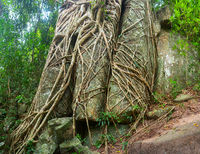 Trailing Roots of Tropical Trees Split through Enormous Rocks