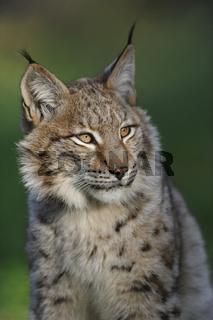 der Kuder... Euraischer Luchs *Lynx lynx*