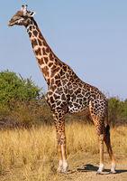 Giraffe at South Luangwa National Park, Zambia