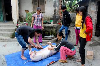 HAI DUONG, VIETNAM, JULY, 4: Asian group killed pig for food on july, 2014 in Hai Duong, Vietnam.