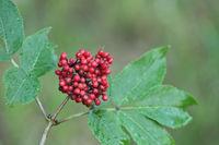 Red eldeberry