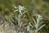 Asian species of Edelweiss (Leontopodium ochroleucum)