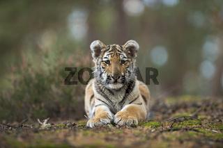 gelassen... Königstiger *Panthera tigris*