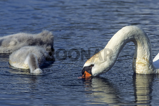 Hoeckerschwan Weibchen mit Jungvoegeln sucht Nahrung auf einem See / Mute Swan female bird with young birds foraging on a lake - (White Swan) / Cygnus olor