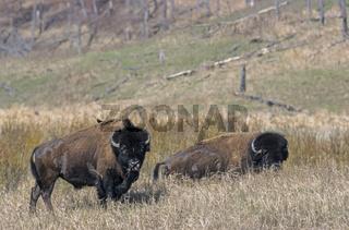 Amerikanischer Bisonbulle mit Braunkopf-Kuhstaerling auf der Schulter - (Indianerbueffel - Bueffel) / American Bison bull with Brown-headed Cowbird on his shoulder - (American Buffalo - Plains Bison) / Bison bison - Bison bison (bison)  Molothrus ater