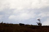 Reindeer both sexes grow antlers