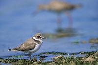 Ringed Plover juveniles are duller than the adults