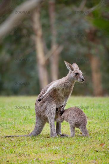 Australian kangaroo mother with young