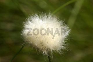 Eriophorum vaginatum, Scheiden-Wollgras
